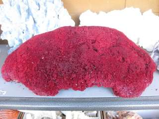 GIANT Red pipe organ coral sea shell reeftank aquarium 21