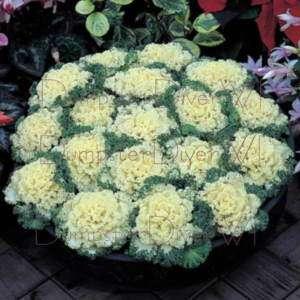 Flowering Kale Cabbage Nagoya White Formula Hybrid seed