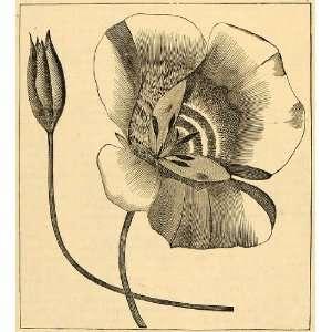 1892 Print Calochortus Butterfly Lily Fairy Flowers Art