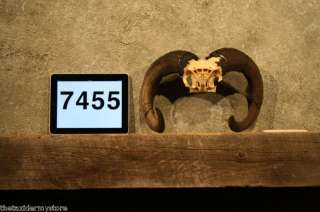7455 Red Sheep Ram Skull Horns Taxidermy Antler Decor