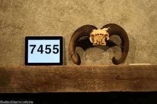 7455 Red Sheep Ram Skull Horns Taxidermy Antler Decor