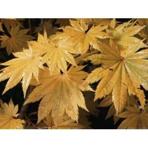 Close Views of Japanese Maple Leaves National Geographic