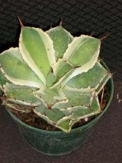 RARE VARIEGATED AGAVE KISSHO KAN CACTUS SUCCULENT PLANT